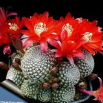 Photo Crown Cactus  description