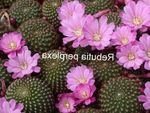 lilac Indoor Plants Crown Cactus, Rebutia Photo