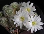 white Indoor Plants Crown Cactus, Rebutia Photo