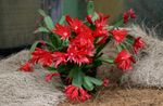 Photo Easter Cactus  description