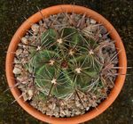yellow Indoor Plants Ferocactus Photo