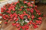 Photo Christmas Cactus  description