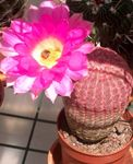Photo Hedgehog Cactus, Lace Cactus, Rainbow Cactus  description