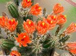 orange Indoor Plants Hedgehog Cactus, Lace Cactus, Rainbow Cactus, Echinocereus Photo