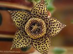 Carrion Plant, Starfish Flower, Starfish Cactus