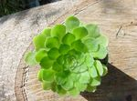white Velvet Rose, Saucer Plant, Aeonium succulent Photo