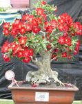 red Indoor Plants Desert Rose succulent, Adenium Photo