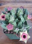 Photo Huernia Succulent description
