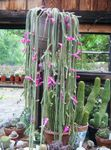 pink Indoor Plants Rat tail Cactus, Aporocactus Photo