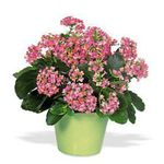 Photo Kalanchoe Succulent description