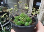 Photo Monanthes Succulent description