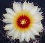 white Indoor Plants Astrophytum desert cactus Photo