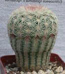 Photo Acanthocalycium Desert Cactus description