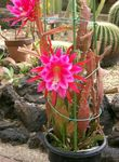 Photo Strap Cactus, Orchid Cactus  description