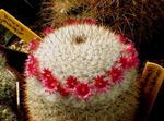 Photo Old lady cactus, Mammillaria  description