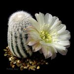 Photo Cob Cactus  description