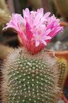 Photo Matucana Desert Cactus description