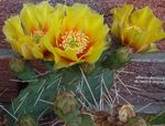 yellow Indoor Plants Prickly Pear desert cactus, Opuntia Photo