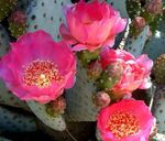 Photo Prickly Pear Desert Cactus description