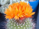 Photo Tom Thumb Desert Cactus description