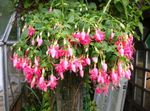 Photo Fuchsia Des Arbustes la description