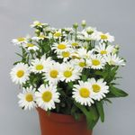 Photo Florists Mum, Pot Mum Herbaceous Plant description