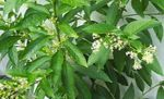 Photo Cestrum Shrub description
