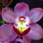 Photo Cymbidium Herbeux la description