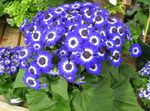 Photo Cineraria cruenta Herbaceous Plant description