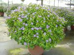 Photo Persian Violet Herbaceous Plant description