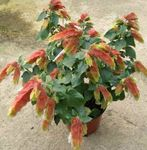 white Indoor Flowers Red Shrimp Plant shrub, Beloperone guttata Photo