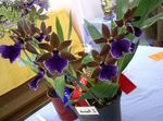 Photo Zygopetalum Herbaceous Plant description