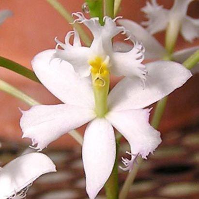 Blanco flores de sal n orqu dea ojal herb ceas epidendrum for Planta ornamental blanca nieves