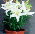 Photo Lilium Herbeux la description