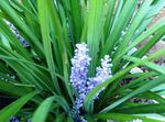 Photo Variegated Lily Turf Herbaceous Plant description