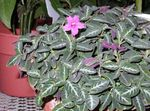 Photo Monkey Plant, Red ruellia  description