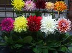 Photo Dahlia Herbaceous Plant description