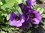 Photo Texas Jacinthe Des Bois, Lisianthus, Gentiane De Tulipes Herbeux la description