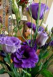 Photo Texas Bluebell, Lisianthus, Tulip Gentian Herbaceous Plant description