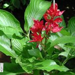 red Indoor Flowers Sanchezia, Fire Fingers herbaceous plant Photo