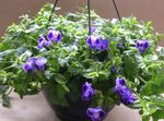 Photo Wishbone flower, Ladys slipper, Blue wing Hanging Plant description