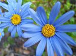Photo Blue Daisy Herbaceous Plant description