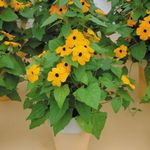 yellow Indoor Flowers Black eye Susan liana, Thunbergia alata Photo