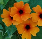 orange Indoor Flowers Black eye Susan liana, Thunbergia alata Photo