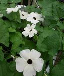 white Indoor Flowers Black eye Susan liana, Thunbergia alata Photo
