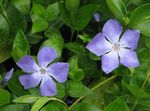 Photo Madagascar Periwinkle, Vinca Hanging Plant description
