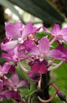 pink Indoor Flowers Calanthe herbaceous plant Photo