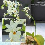 white Indoor Flowers Calanthe herbaceous plant Photo