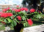 Photo Red Powder Puff Shrub description