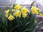 Photo Jonquilles, Daffy Dilly Bas Herbeux la description